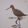 0405-オオソリハシシギ鳥の海