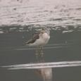 040920-アオアシシギ御所湖