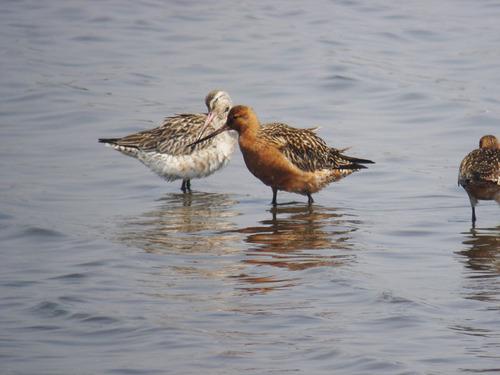 07030-オオソリハシシギ鳥の海