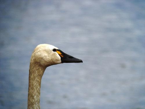 07421-アメリカコハクチョウ大沼