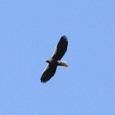 080126-オオワシ成鳥